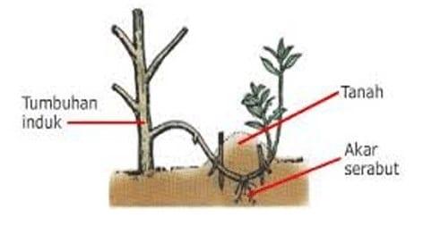 Mengenal Perkembangbiakan Tumbuhan Secara Vegetatif Buatan Ruangbiologi Co Id