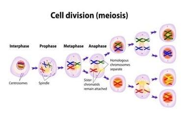 Pembelahan Meiosis Pengertian Tujuan Ciri Proses Dan Perbedaannya Ruangbiologi Co Id